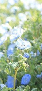 青い花の写真・画像素材[3471190]