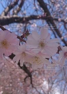 桜の写真・画像素材[2424170]