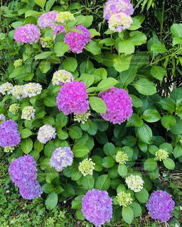 紫陽花の写真・画像素材[2447458]