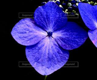 紫陽花の写真・画像素材[2430593]
