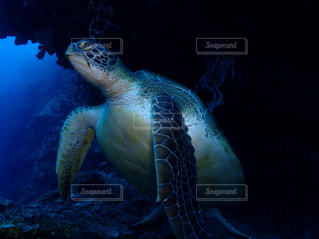 アオウミガメの写真・画像素材[2431530]