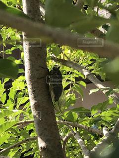 枝にとまった蝉の写真・画像素材[2434152]