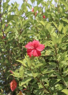 植物の赤い花の写真・画像素材[2433930]