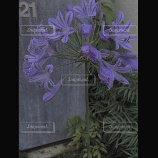 紫色の花でいっぱいの花瓶の写真・画像素材[2432142]