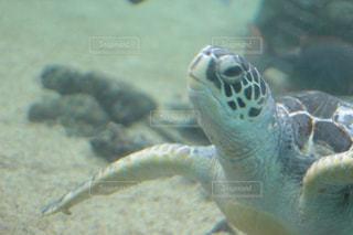 水の下を泳ぐカメの写真・画像素材[2433610]