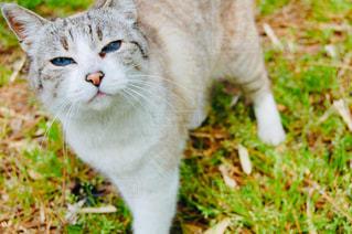 青い目の猫の写真・画像素材[2501446]
