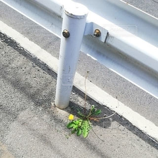 アスファルトに咲くタンポポの写真・画像素材[2434473]