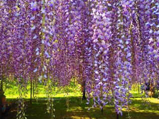 鮮やかな 藤の花の写真・画像素材[2435056]