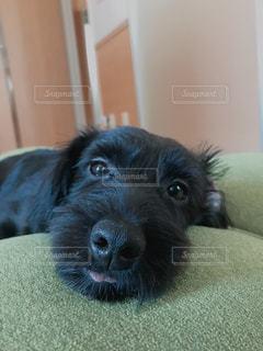 横になってカメラを見ている犬の写真・画像素材[2434252]
