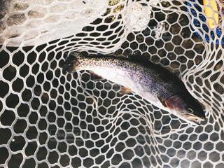 魚のクローズアップの写真・画像素材[2434265]