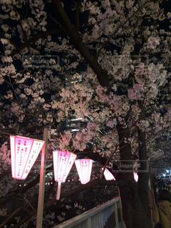川沿いに桜目黒川の桜の写真・画像素材[2437502]