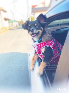 洋服を着て、ドライブに出かけるチワワ🐕の写真・画像素材[2446039]