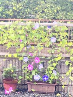 庭に咲く朝顔の写真・画像素材[2446846]