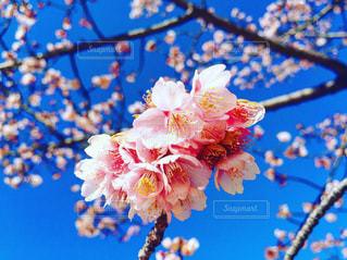 桜の季節の写真・画像素材[2464279]