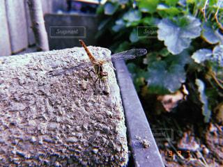 蜻蛉さんの写真・画像素材[2437088]