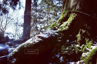 地面に雪が積もった木の写真・画像素材[2437181]
