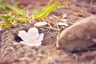 桜の花の写真・画像素材[2437183]