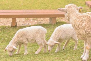 羊の母と子供達の写真・画像素材[2437197]