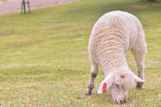 子羊ちゃんの写真・画像素材[2437198]