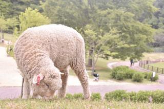 もこもこの子羊の写真・画像素材[2437199]