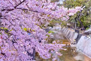 桜と川の写真・画像素材[2437229]