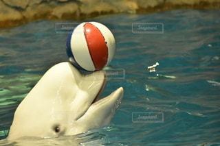ボールで遊ぶシロイルカの写真・画像素材[2678953]