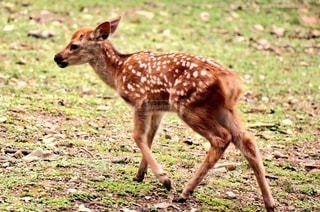 奈良の子鹿の写真・画像素材[2699651]