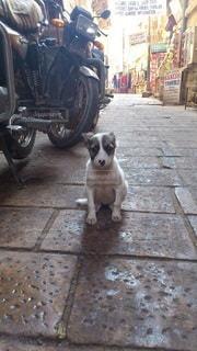 迷い犬、ジャイサルメールの写真・画像素材[2443628]