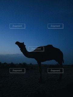 夕暮れ、ラクダの写真・画像素材[3162545]