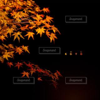 夜の紅葉狩りの写真・画像素材[866226]