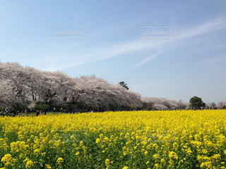 菜の花、桜、青空のトリオの写真・画像素材[2443277]
