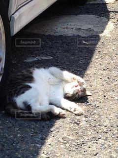 車の陰でゴロゴロする猫の写真・画像素材[2443281]