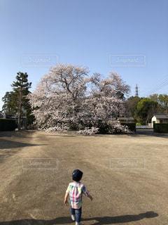 大っきい桜に興味津々の写真・画像素材[2443283]