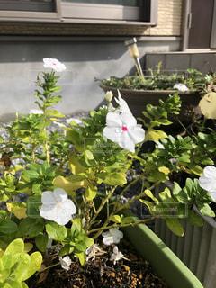 雨露に濡れる花の写真・画像素材[2474954]