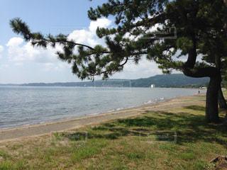 海岸の松の写真・画像素材[2444705]