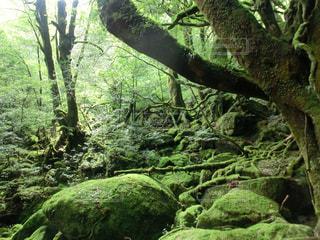 屋久島 まるで映画の中に入ったような白谷雲水峡の写真・画像素材[2447171]