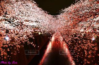 目黒川桜ライトアップの写真・画像素材[2446080]