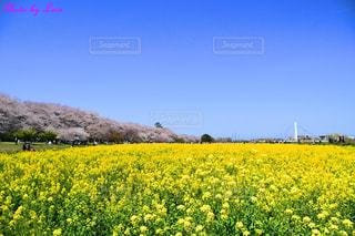 桜と菜の花と青空の写真・画像素材[2446081]