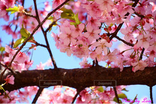 木の枝にピンクの花の群し方の写真・画像素材[2446291]