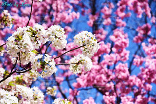 木の上の紫色の花の群しの写真・画像素材[2446292]