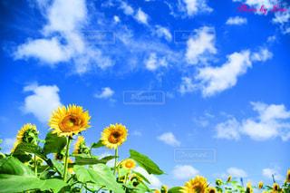 ひまわりと青空の写真・画像素材[2446313]