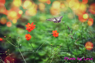アゲハ蝶とコスモスの写真・画像素材[2474100]