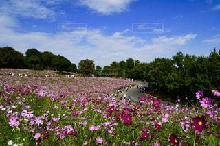 大きな紫色の花が庭にあるの写真・画像素材[2555444]