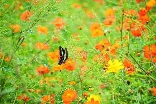 キバナコスモスとアゲハ蝶:秋の彩りの写真・画像素材[2582252]