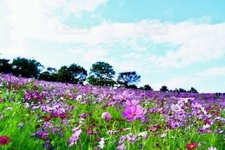 ピンクの秋の写真・画像素材[2611600]