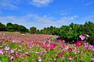 昭和記念公園のコスモスの写真・画像素材[2659660]