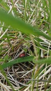 草の上のてんとう虫の写真・画像素材[3167851]