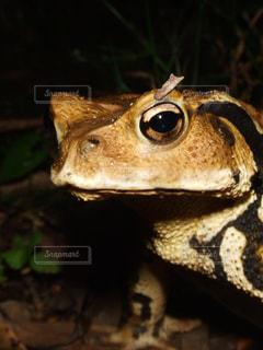カエルのクローズアップの写真・画像素材[2456999]