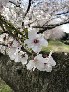 桜☆の写真・画像素材[3064300]