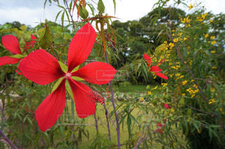 赤い花の写真・画像素材[2449136]